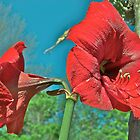 Red Amaryllis 3  by Carolyn Clark