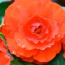 Orange & Juicy Ruffled Begonia.. by Carol Clifford