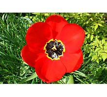 Red Tulip Photographic Print