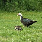 Mommy duck with her Ducklings by ack1128