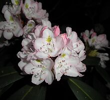 rhododendron Flower by ack1128