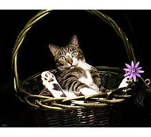 Bodhi the Basket Cat Photographic Print
