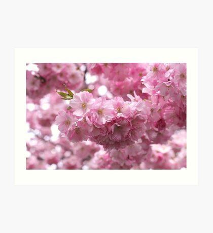 Cherry Blossom, Kungsträdgården, Stockholm Art Print