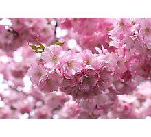 Cherry Blossom, Kungsträdgården, Stockholm Photographic Print