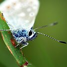 Common Blue Up Close by Russell Couch