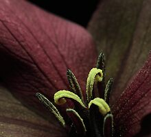 Closer to a Red Trillium by EbyArts