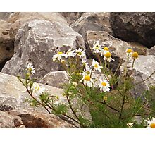 Daisies in Holland  Photographic Print