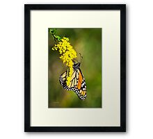 Monarch Butterfly on Goldenrod Framed Print