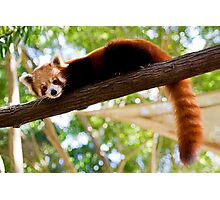 Red Panda - Alma Park Zoo Photographic Print