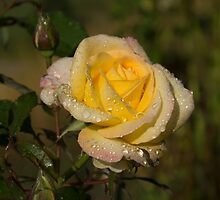 Golden Yellow Sparkles - a Fresh Rose With Dewdrops by Georgia Mizuleva