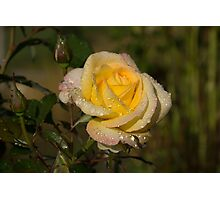 Golden Yellow Sparkles - a Fresh Rose With Dewdrops Photographic Print