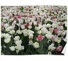 Pretty Pink and White Tulips - Keukenhof Gardens Poster
