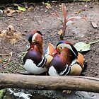 Mandarin Ducks by Malcolm  Taylor