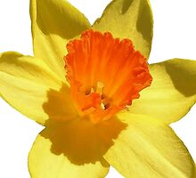 Daffodil Emblem Isolated On White by taiche