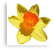 Daffodil Emblem Isolated On White Canvas Print
