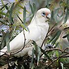 Little Corella by Malcolm  Taylor