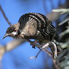 Red Wattle Bird by Malcolm  Taylor