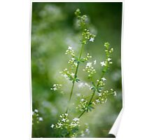 Bedstraw Wildflower Poster