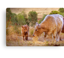 Mother and Daughter - Galloway Cows, Kanmantoo, Adelaide Hllls, SA Canvas Print