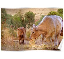 Mother and Daughter - Galloway Cows, Kanmantoo, Adelaide Hllls, SA Poster