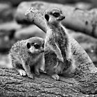Compare the Meerkat by Yampimon