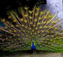 Pumapongo Peacock In Full Splendour by Al Bourassa