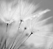 Black and White Dandelion with Water Droplets by Natalie Kinnear