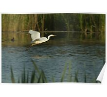 Great white egret, sailing over the water Poster