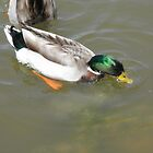 Mallard duck at the pond by ack1128