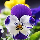 Pansy Greeting Card by Moonlake