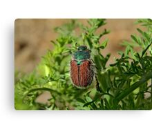 Hairy Beetle Canvas Print