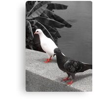 black and white pigeon couple Canvas Print