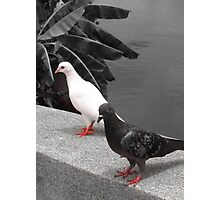 black and white pigeon couple Photographic Print