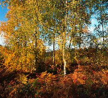 Autumn coloured birch trees by intensivelight