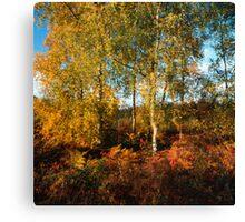 Autumn coloured birch trees Canvas Print