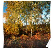 Autumn coloured birch trees Poster