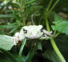 Green Tree Frog by tak1002