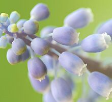 Grape Hyacinth (Muscari botryoides) by Mihaela Limberea