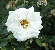 Pretty White Flower by ack1128