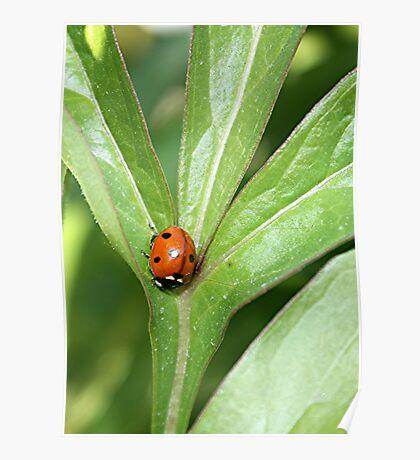 Ladybug On Peony Leaf Poster