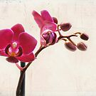 Mini Purple Phalaenopsis Orchid by photecstasy