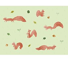 Red Squirrels Photographic Print