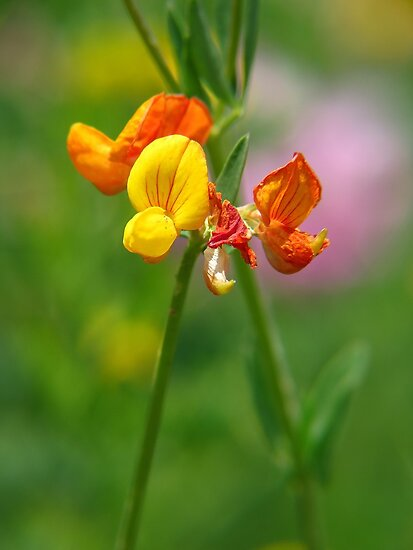 Bird's-foot Trefoil by Ron Russell