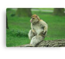 scratching monkey Canvas Print