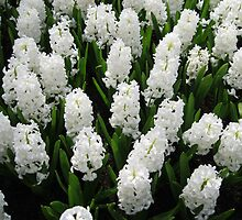 Heavenly Hyacinths - Keukenhof Gardens by BlueMoonRose