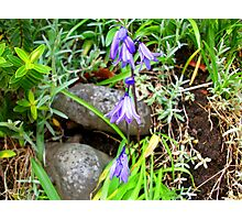 Tradition In Purple! Photographic Print