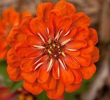 Orange Zinnia by Cynthia Broomfield