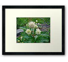 Common Buttonbush - Cephalanthus occidentalis Framed Print
