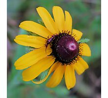 Texas Wildflower - Black-eyed Susan and Friend - need ID on insect Photographic Print