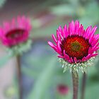 Photo of vivid magenta flower by crazylemur